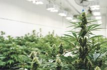 Medicinal Cannabis - The growing facility.