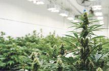 Medicinal Cannabis - The growing facility.